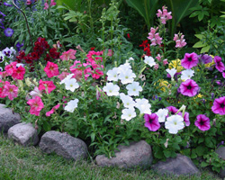 Multi-colored flowers in a stone enclosed garden belonging to cancer survivor Sharrie Heibl.